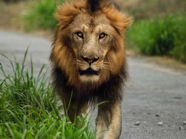 Löwe auf Straße
